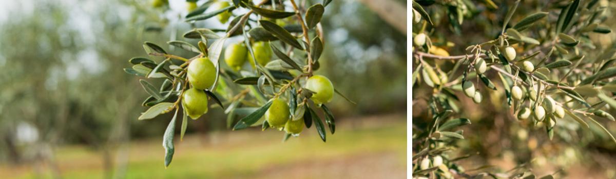 Olijfboom kopen bij Almere - Almeerplant