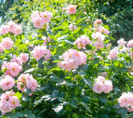 Rozenstruik verkrijgbaar bij Tuincentrum Almeerplant