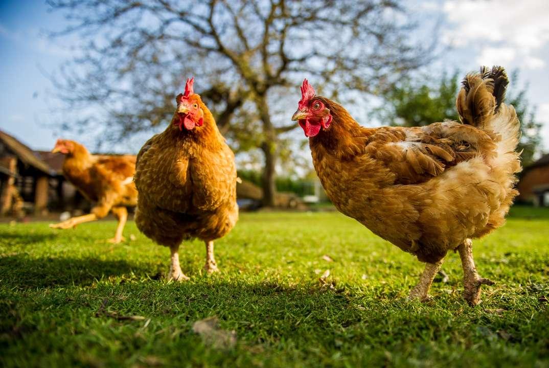Kippen en eenden benodigdheden